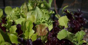 Freshly Shredded Salad